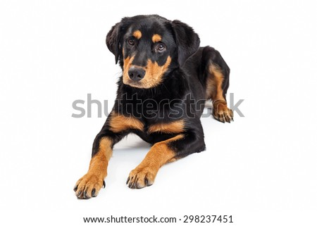 Cute Rottweiler and Labrador mixed breed puppy laying down on a white background - stock photo