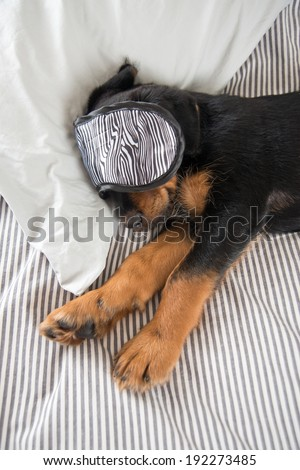 Cute Rottweiler Mix Puppy Sleeping on Human Bed with Mask On - stock photo
