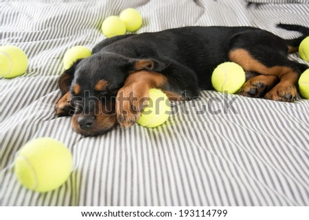 Cute Rottweiler Mix Puppy Sleeping on Striped White and Gray Sheets on Human Bed Surrounded by Tennis Balls - stock photo