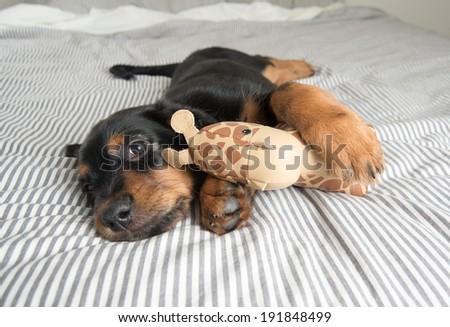 Cute Rottweiler Mix Puppy Sleeping with Toy on Striped White and Gray Sheets on Human Bed Looking at Camera - stock photo