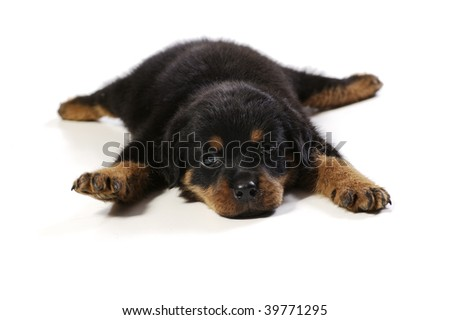 Cute rottweiler puppy at white background - stock photo