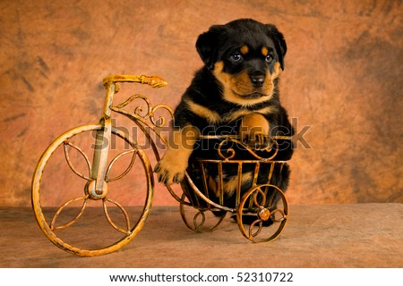 Cute Rottweiler puppy in mini bicycle, on brown mottled background fabric - stock photo