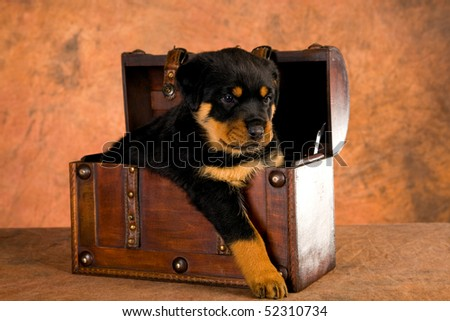 Cute Rottweiler puppy in wooden treasure chest, on brown mottled background fabric - stock photo