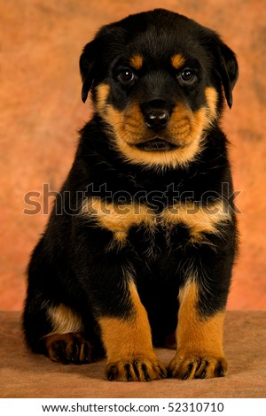 Cute Rottweiler puppy on brown mottled background fabric - stock photo