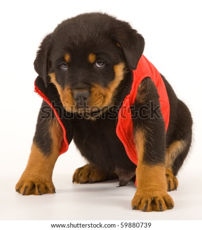 Cute Rottweiler puppy sitting on white wearing red jacket - stock photo