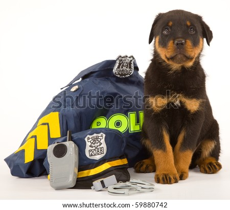 Cute Rottweiler puppy sitting on white with policeman outfit - stock photo