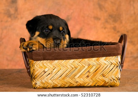 Cute Rottweiler puppy sleeping in brown woven basket, on brown mottled background fabric - stock photo