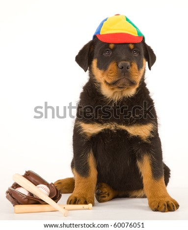 Cute Rottweiler puppy with cap and baseball glove, bats and balls - stock photo