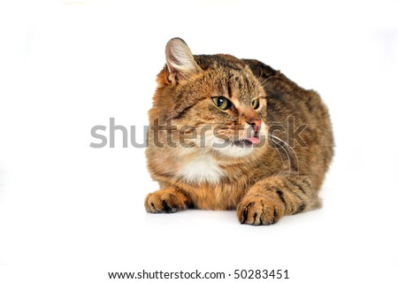 cute russet   domestic cat  isolated