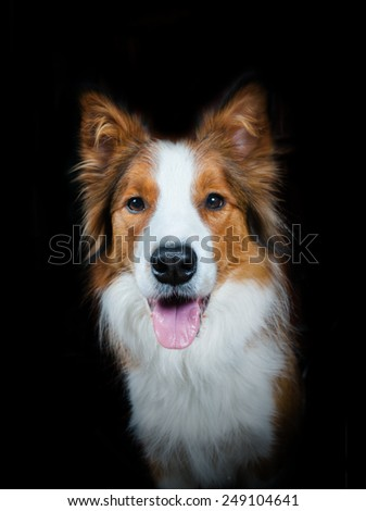 Cute sable color border collie over a black background - stock photo