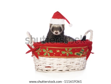 Cute sable ferret in Christmas basket wearing Santa hat isolated on white background