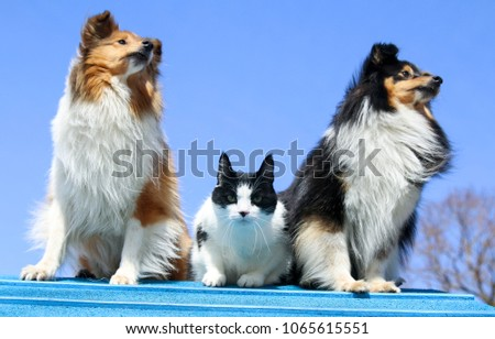 Fantastic Icelandic Sheepdog Canine Adorable Dog - stock-photo-cute-sable-white-and-tricolor-sheltie-shetland-sheepdog-sit-with-black-and-white-cat-on-dog-1065615551  Photograph_508075  .jpg
