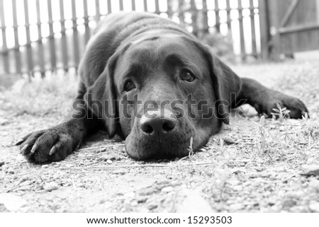 Cute sad dog in B&W (e.g. can be used for â??Missing Youâ?? or â??Please, Forgive Meâ?? postcards) - stock photo