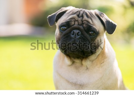 Cute Sad Pug in the summer park - waiting for master - stock photo