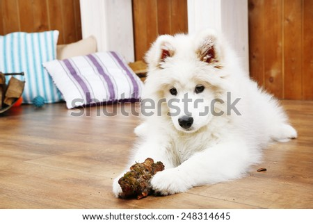 Cute Samoyed dog chewing firewood on wooden floor and fireplace on background - stock photo