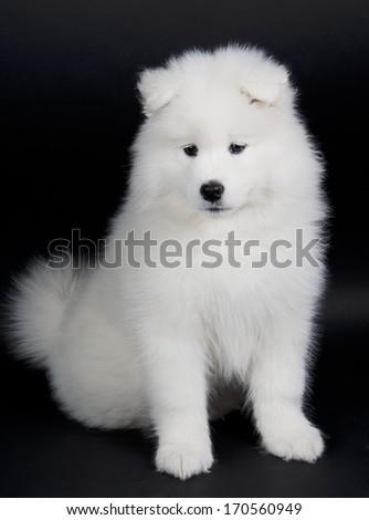 Cute Samoyed puppy (on a black background) - stock photo