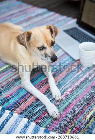 Cute Sand Colored Rat Terrier Mix Dog with Different Colored Eyes Laying on Patio on Multicolored Rug - stock photo