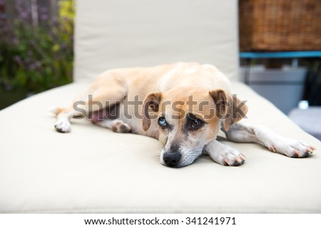 Cute Sand Colored Rat Terrier Mix Dog with Different Colored Eyes Relaxing on Chase Lounger Outside