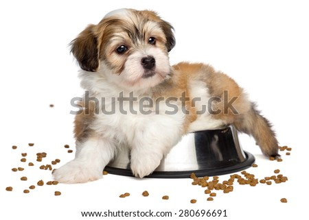 Cute sated Bichon Havanese puppy dog is lying on a metal food bowl, some dry dog food scattered around - isolated on white background