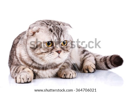 cute Scottish fold cat bicolor stripes isolated  on white background - stock photo