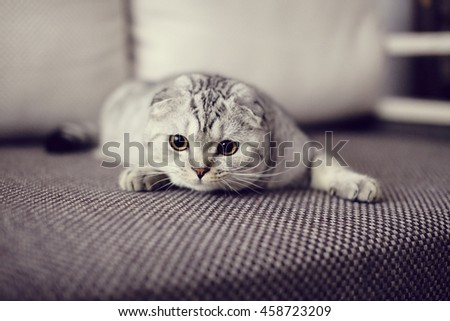 Cute Scottish Fold cat playing on the couch. Selective focus - stock photo