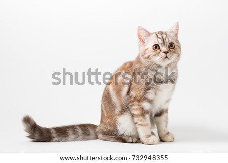 Cute Scottish Straight breed Kitty chocolate color with tabby, sitting on white background