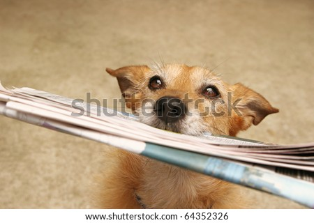 Cute scruffy terrier dog bringing in the newspaper - stock photo