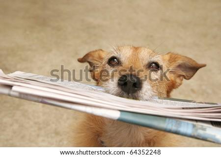 Cute scruffy terrier dog bringing the newspaper - stock photo