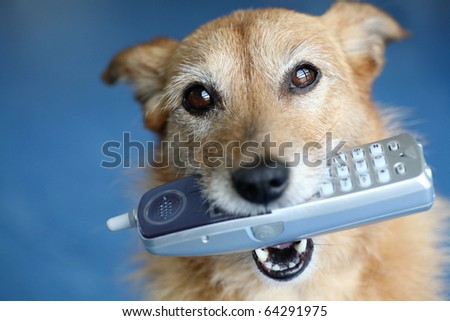 Cute scruffy terrier dog holding a phone in her mouth looking up - stock photo