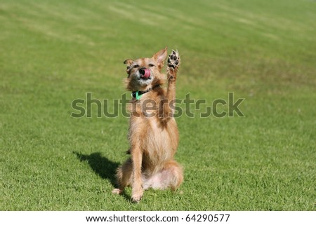 Cute scruffy terrier dog sitting in a field doing a high five paw in the air - stock photo