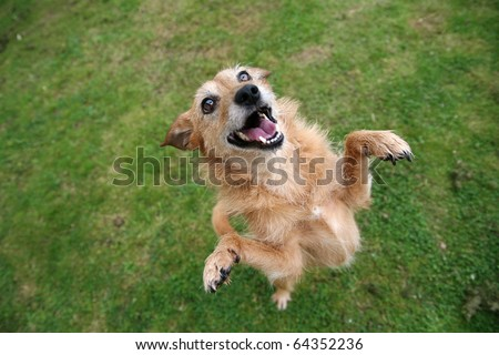Cute scruffy terrier dog standing on her hind legs, happy grin on her face - stock photo