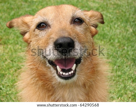 Cute scruffy terrier dog with a big smile on her face - stock photo
