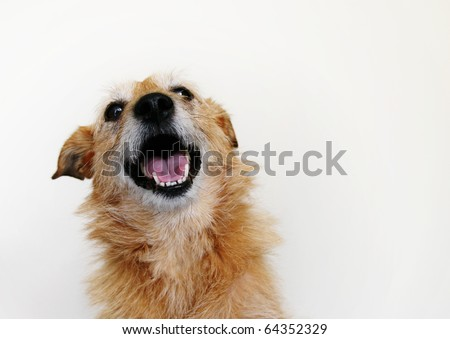 Cute scruffy terrier dog with a happy smile on her face - stock photo
