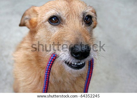 Cute scruffy terrier dog with the leash in her mouth, ready for a walk - stock photo