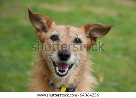 Cute scruffy terrier with a happy smile - stock photo