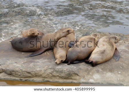 Cute Sea lion Pups are sleeping on the rocks at la jolla cove - stock photo