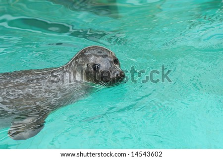 Cute Sea Seal in the water, starring at you (eared seals, Otariidae) - stock photo