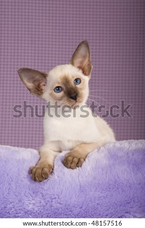Cute Sealpoint Siamese on lilac fake fur on purple check background - stock photo