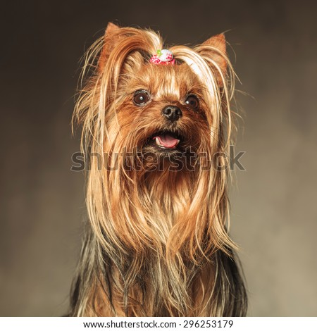 cute seated yorkshire terrier puppy dog looking up at something  - stock photo