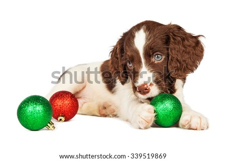 Cute seven week old English Springer Spaniel Puppy playing with Christmas decorations - stock photo