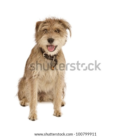 Cute shaggy mixed breed dog with a friendly expression sits facing camera. It has floppy ears, beige fur, and a dark leather collar with a dog tag. Isolated on white, square with copy space. - stock photo