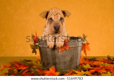 Cute Sharpei puppy sitting inside wooden barrel vat with autumn fall leaves - stock photo