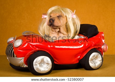 Cute Sharpei puppy wearing blonde wig sitting in red toy car
