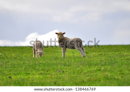 Cute Sheep - stock photo
