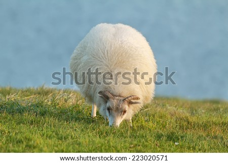 Cute sheep eating grass in Iceland - stock photo