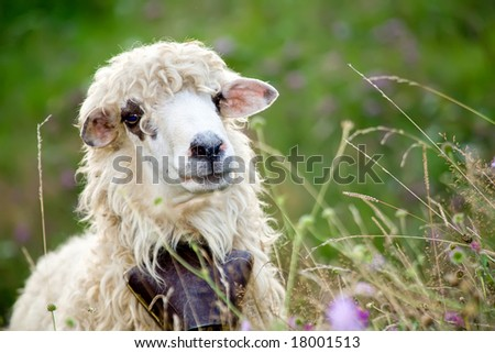 cute sheep standing in wild meadow