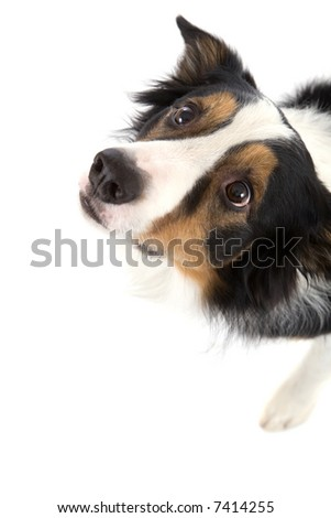 Cute sheepdog looking up on white background
