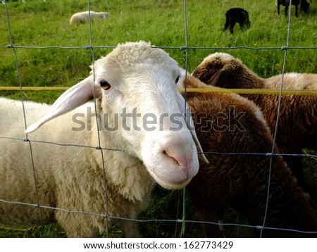 Cute sheeps on green meadow - stock photo
