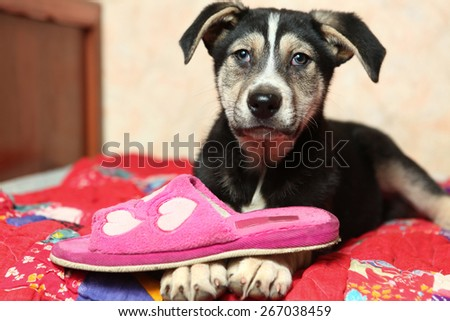 cute shepherd puppy on the bed with slipper - stock photo