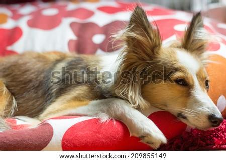 Cute shetland sheepdog looks sad and in sorrow while resting - stock photo